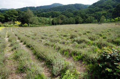 収穫後のラベンダー畑