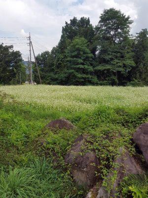 白馬村ではそばの花が咲いていた